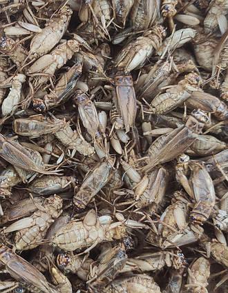 """Сублимированный домовой сверчок """"Просто добавь воды!"""" для :  рептилий, ежей, муравьев, птиц , грызунов"""