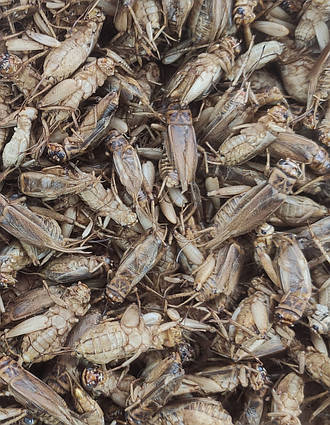 """Сублімований домашній цвіркун  """"Просто додай води!"""" для : рептилій , їжаків , мурах , птиць , гризунів"""
