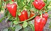 Семена перца Зондела F1, 1000 семян