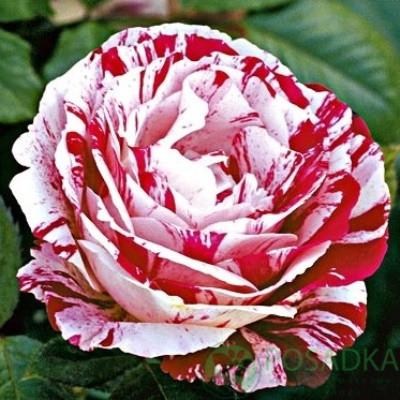 Троянда флорибунда Сантименталь