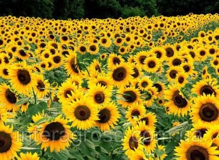Купить Насіння соняшника Антей