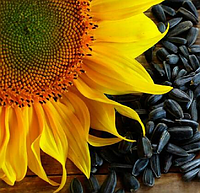 Семена подсолнуха Рембо (под Гранстар 25 г.)  2020 г.