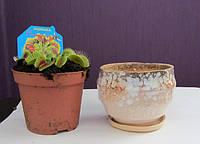 Венерина мухоловка с керамическим горшком, фото 1