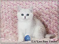 Питомник британских шиншилл UA*Leo San предлагает котят.