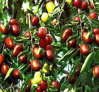Саженцы Зизифуса Южанин (сеянец) - ранний, морозостойкий, урожайный (унаби, финика, жужуба)