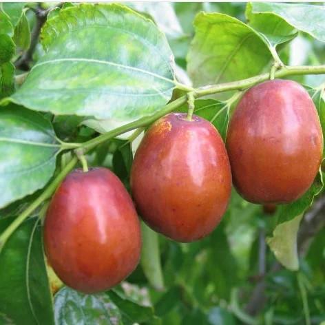 Саженцы Зизифуса Даргомский (сеянец) - средний, крупноплодный, сладкий (унаби, финика, жужуба)