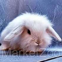 """Карликовый вислоухий кролик,порода """"Mini lion lop"""",окрас """"Сиамский"""",возраст 1,5мес.,мальчик, фото 3"""