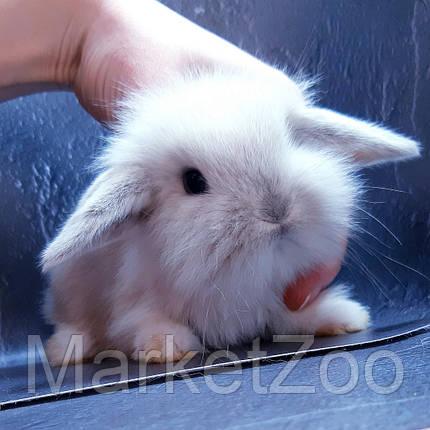 """Карликовый вислоухий кролик,порода """"Mini lion lop"""",окрас """"Сиамский"""",возраст 1,5мес.,мальчик, фото 2"""