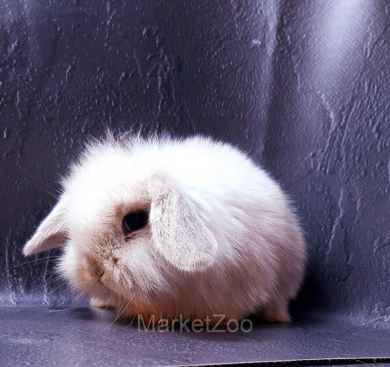 """Карликовый вислоухий кролик,порода """"Mini lion lop"""",окрас """"Сиамский"""",возраст 1,5мес.,мальчик"""
