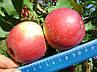 Яблуня Уелсі Дворічна, фото 3