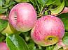 Яблуня Уелсі Дворічна, фото 4