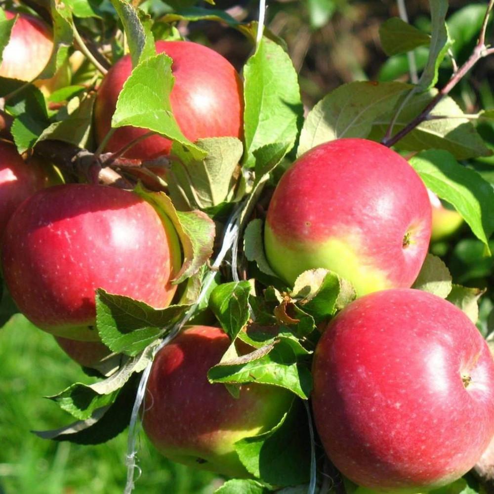 Яблуня Уелсі Дворічна