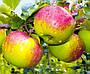 Яблуня Уелсі Дворічна, фото 6