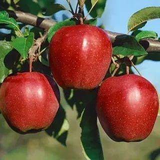 Яблоня Глостер Двухлетняя