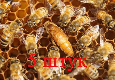 Матка Кордован (Cordovan) (не плодная) – 5 пчеломаток