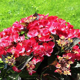 Саженцы Гортензии крупнолистной Краснолистной (Hydrangea macrophylla)