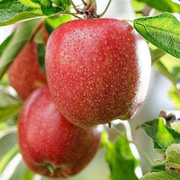 Яблуня Бребун Дворічна