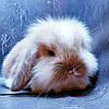 """Карликовый вислоухий кролик,порода """"Вислоухий баранчик Lion lop"""",окрас """"Изабелла плащевой"""",возраст 1,5мес,дев., фото 4"""