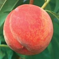 Саджанці абрикоса КІТ Н КАНДІ раннього терміну дозрівання