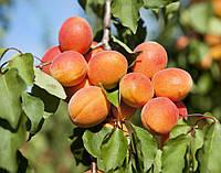 Саджанці абрикоса ПРИМАЯ раннього терміну дозрівання