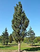 Сосна звичайна 'Fastigiata', (С10, h 80), фото 3