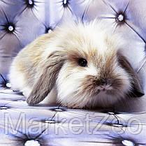"""Карликовый вислоухий кролик,порода """"Вислоухий баранчик Lion lop"""",окрас """"Изабелла плащевой"""",возраст 1,5мес,дев., фото 2"""