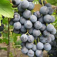 Виноград Чорний Майкл