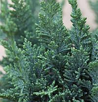 Кипарисовик Лавсона Alumii 2 річний, Кипарисовик Лавсона Алюми, Chamaecyparis lawsoniana Alumii, фото 2