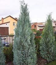 Кипарисовик Лавсона Alumii 2 річний, Кипарисовик Лавсона Алюми, Chamaecyparis lawsoniana Alumii, фото 3