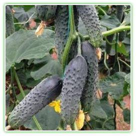 Насіння огірка Лютояр F1 (250 нас.) Yuksel seeds