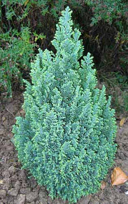Кипарисовик Лавсона Ellwoodii 2 річний, Кипарисовик Лавсона Элвуди, Chamaecyparis lawsoniana Ellwoodii, фото 2