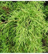 Кипарисовик горіхоплідний Filifera Nana 2 річний, кипарисовик горохоплодный Филифера Нана, Chamaecyparis, фото 2