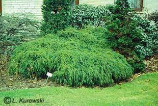 Кипарисовик горіхоплідний Filifera Nana 2 річний, кипарисовик горохоплодный Филифера Нана, Chamaecyparis, фото 3