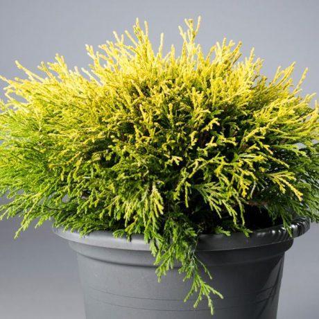 Кипарисовик горіхоплідний Filifera Aurea Nana 2 річний, Кипарисовик горохоплодный Филифера Ауреа Нана