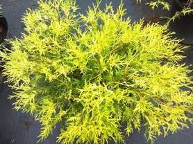 Кипарисовик горіхоплідний Filifera Aurea Nana 2 річний, Кипарисовик горохоплодный Филифера Ауреа Нана, фото 3