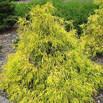 Кипарисовик горіхоплідний Filifera Aurea Nana 2 річний, Кипарисовик горохоплодный Филифера Ауреа Нана, фото 2