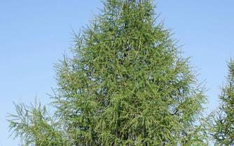 Модрина європейська 2 річна, Лиственница европейская, Larix decidua, фото 2