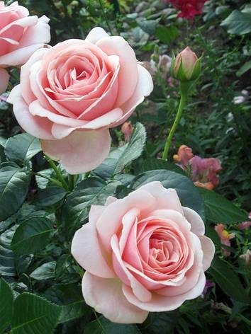 Роза Афродита (Aphrodite) Ч/Г, фото 2