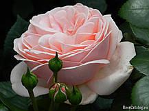Роза Афродита (Aphrodite) Ч/Г, фото 3