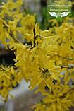 Forsythia x intermedia 'Fiesta', Форзиція середня 'Фієста',C2 - горщик 2л, фото 2