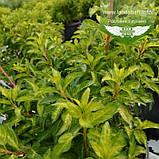 Forsythia x intermedia 'Fiesta', Форзиція середня 'Фієста',C2 - горщик 2л, фото 3