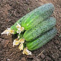 АФИНА F1 - семена огурца партенокарпического 1 000 семян, Nunhems