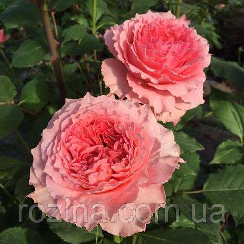 "Саджанці троянди "" Corail gelee"
