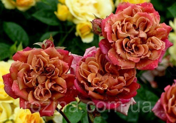 """Саджанці троянди """" Ча-Ча"""""""
