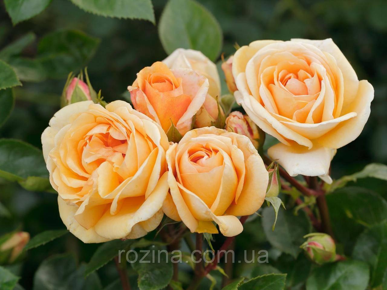 """Саджанці троянди """"CIRCLE OF LIFE """"(Серкл оф лайф)"""