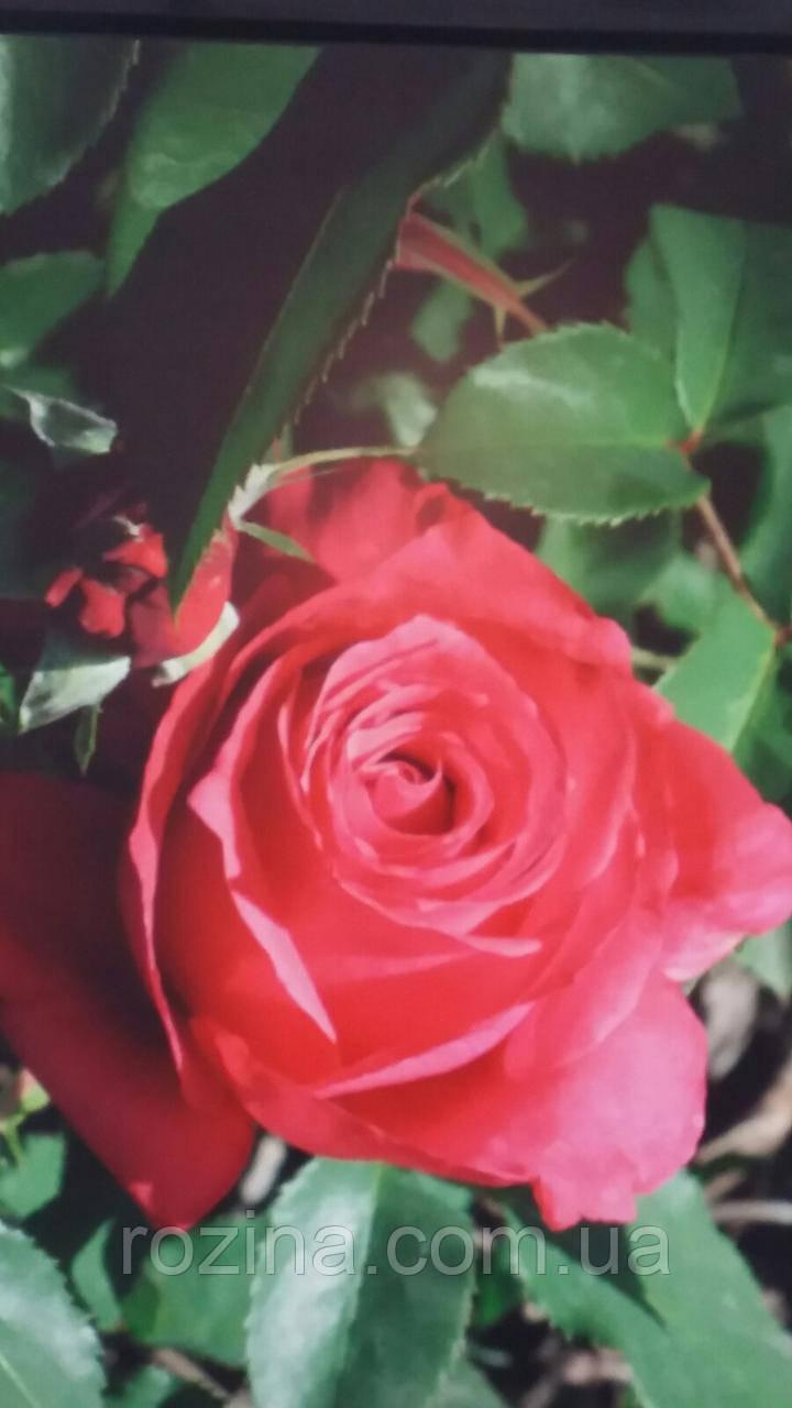 """Саджанці троянди """"Хот Леди"""""""
