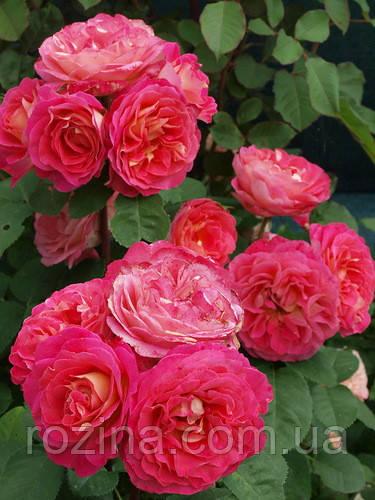 """Саджанці троянди """"Шато де Вертой""""(Chateau De Verteuil)"""