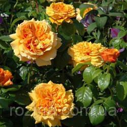 """Саджанці троянди """"Leah Tutu""""( Лич Туту)"""