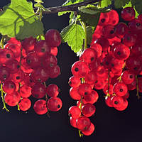 Саджанці смородини червоної і білої.