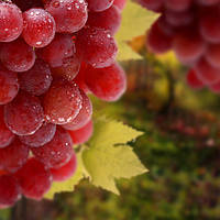 Рожеві і сині сорти винограду